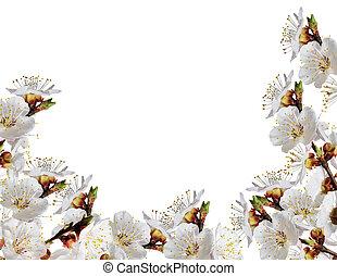 printemps, fleurs blanches, branche