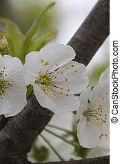 printemps, fleurs blanches, branches