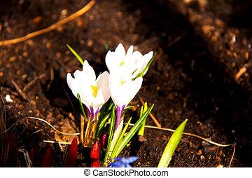 printemps, fleurs blanches, colchique