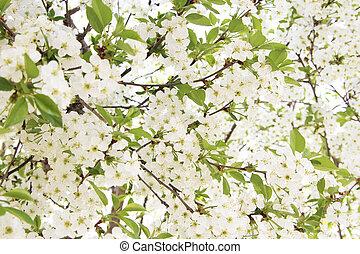 printemps, fleurs blanches, fond