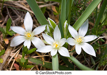 printemps, fleurs blanches