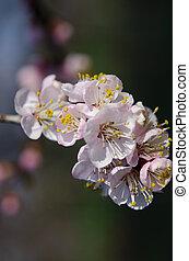 printemps, fleurs roses, abricot, mince, jardin, branche