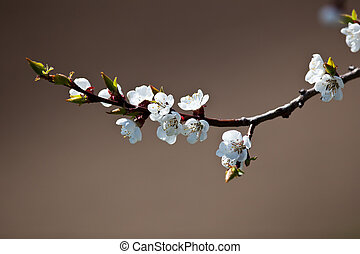 printemps, floraison, -, pommier