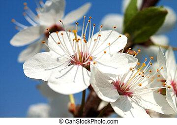printemps, flowers., cerise