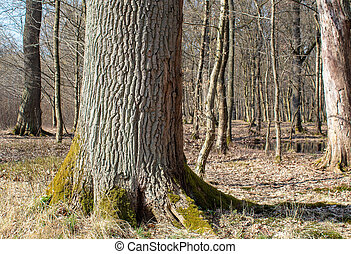 printemps, forêt arbre, grand