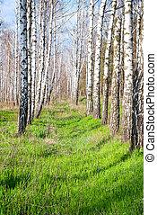 printemps, forêt, bouleau