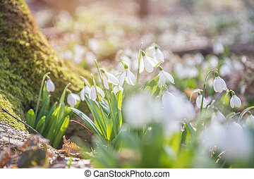 printemps, forest., perce-neige, lumière, tendre, blanc, levers de soleil