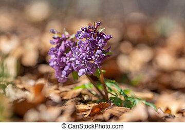 printemps, fumewort, tôt, forêt, corydalis, solida.
