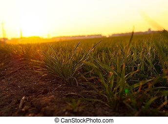 printemps, herbe, coucher soleil, jeune