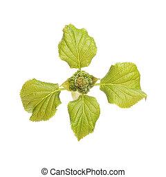 printemps, hortensia, feuilles