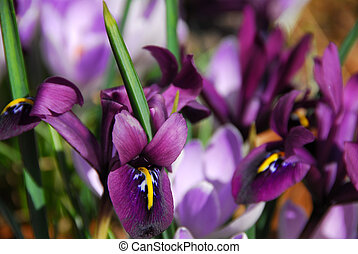 printemps, iris
