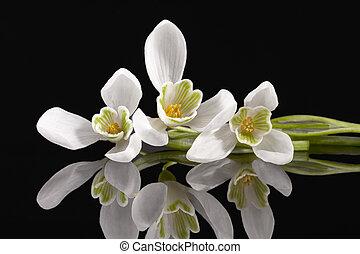 printemps, isolé, arrière-plan noir, fleurs blanches, perce-neige