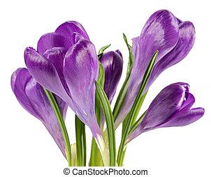 printemps, isolé, colchique, fond, fleurs blanches