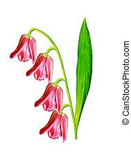 printemps, isolé, fond, tulipes, fleurs blanches