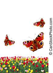 printemps, isolé, papillons, fond, tulipes, blanc