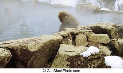 printemps, japonaise, singes, neige, chaud, macaques, ou