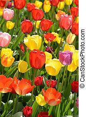 printemps, jardin, tulipe