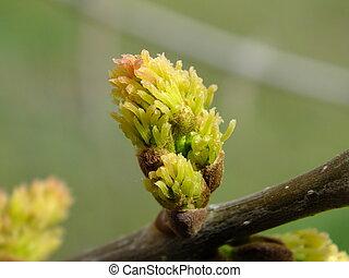 printemps, jeune, bourgeon