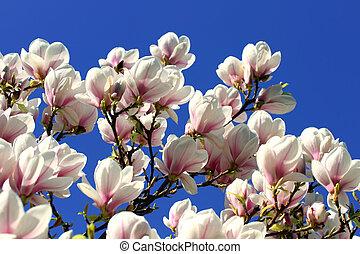 printemps, magnolia, fleurs, arbre