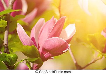 printemps, magnolia, fleurs