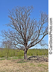 printemps, nu, arbre chêne, temps