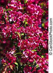 printemps, parc, pommier, fleurir