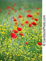 printemps, pavot, fleurs, pré, saison