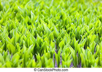 printemps, pelouse, pousses