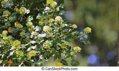 printemps, pollen, viburnum, rassembler, closeup, fleurs blanches, abeilles