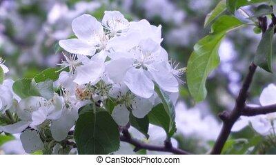 printemps, pommes, branche, fleurs blanches, après-midi