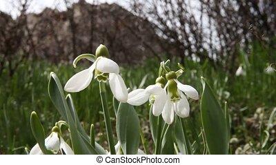 printemps, pré, fleurs, perce-neige