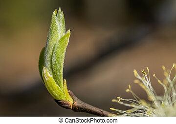 printemps, saule, feuilles, finlande, -, jeune, salix,...