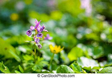 printemps, scilla, fleurs, forêt, bifolia