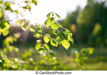 printemps, soleil, branches, fond, bouleau