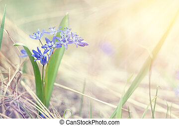 printemps, sunrise., tendre, forêt, violet, perce-neige