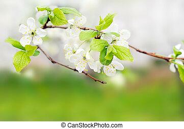 printemps, sur, arbre, vert, branche, fleurs blanches
