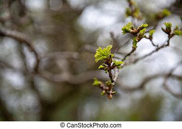 printemps, tôt, arrière-plan., vert, time., feuilles, pré, croissant