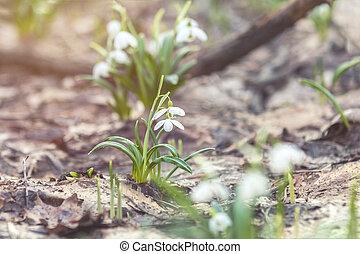 printemps, tendre, coucher soleil, forêt, lumière, perce-neige, blanc, levers de soleil