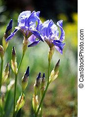 printemps, time:, sauvage, iris, fleurs, dans, les, bois