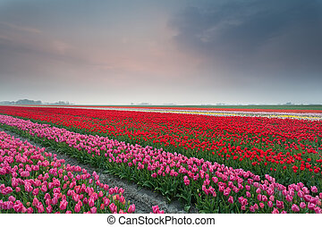 printemps, tulipe, champ coucher soleil