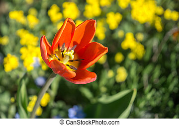 printemps, tulipe jaune