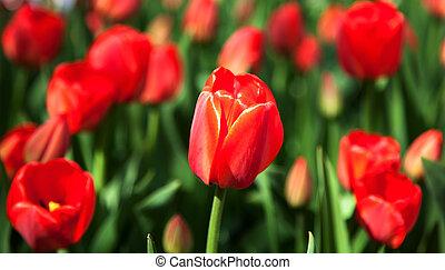 printemps, tulipe rouge