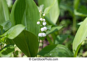 printemps, une, forest., doux, flowers., vallée, lis