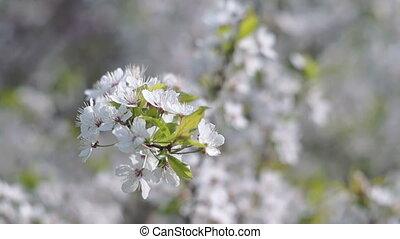 printemps, verger fruit