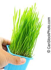 prise, pot fleurs, main, wheatgrass