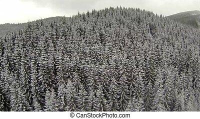 prise vue aérienne, de, conifère, forêt