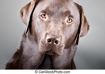 prise vue tête, labrador, frappant, chocolat, beau