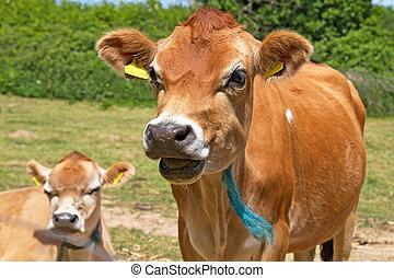 prise vue tête, vache, haut fin, jersey