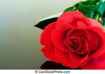 Pristine Rose - Closeup of a red rose.