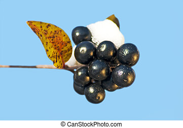 privet berries with snow hat